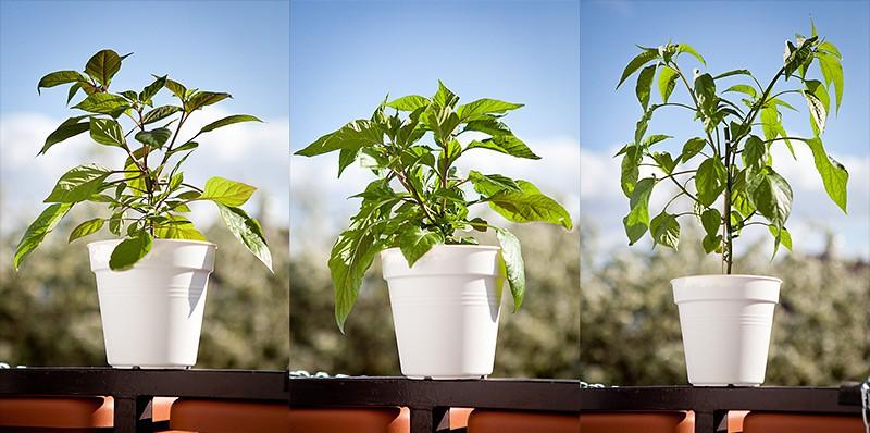 Como plantar Pimenta Malagueta