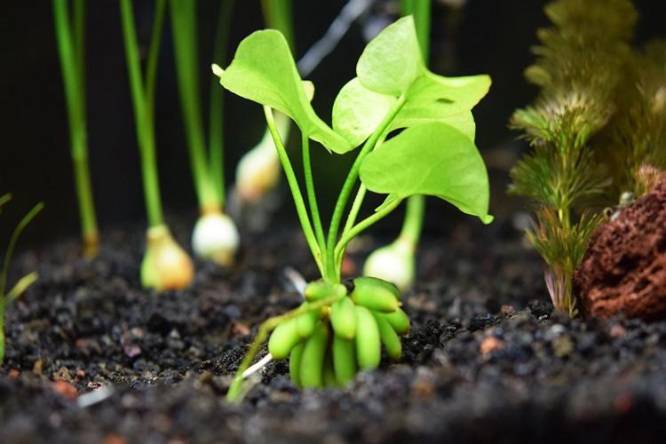 Como Planta Banana