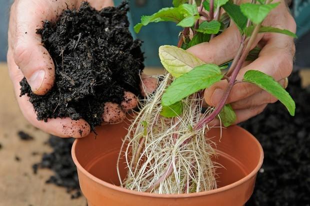 como plantar hortelã em casa