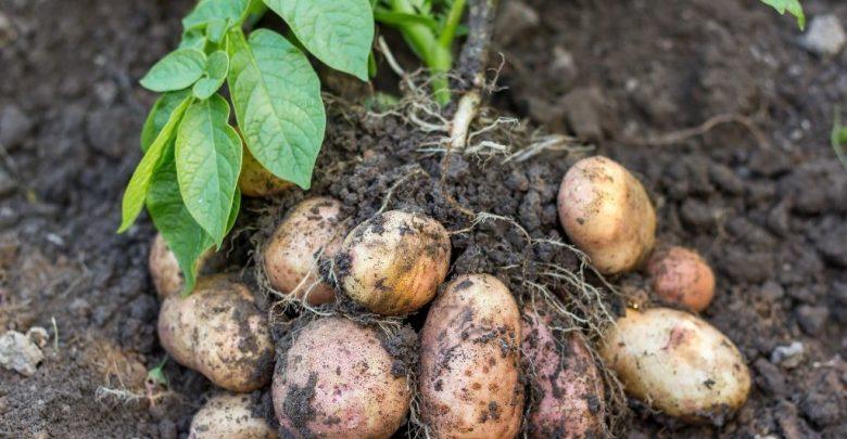 como plantar batata