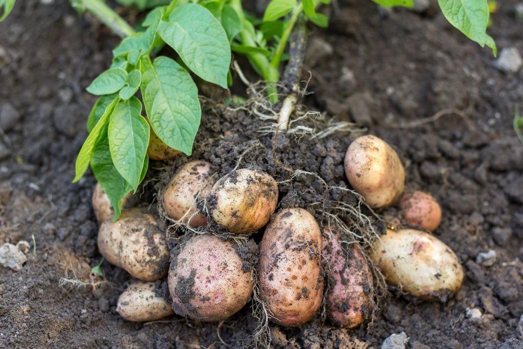 Como plantar batatas