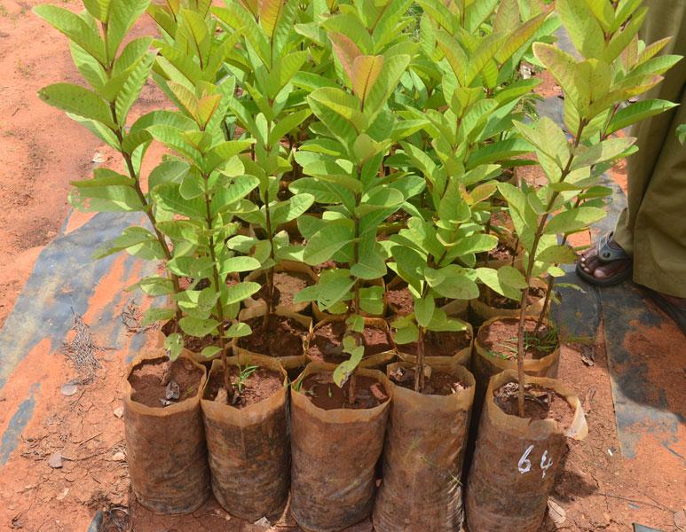 como plantar goiaba em casa