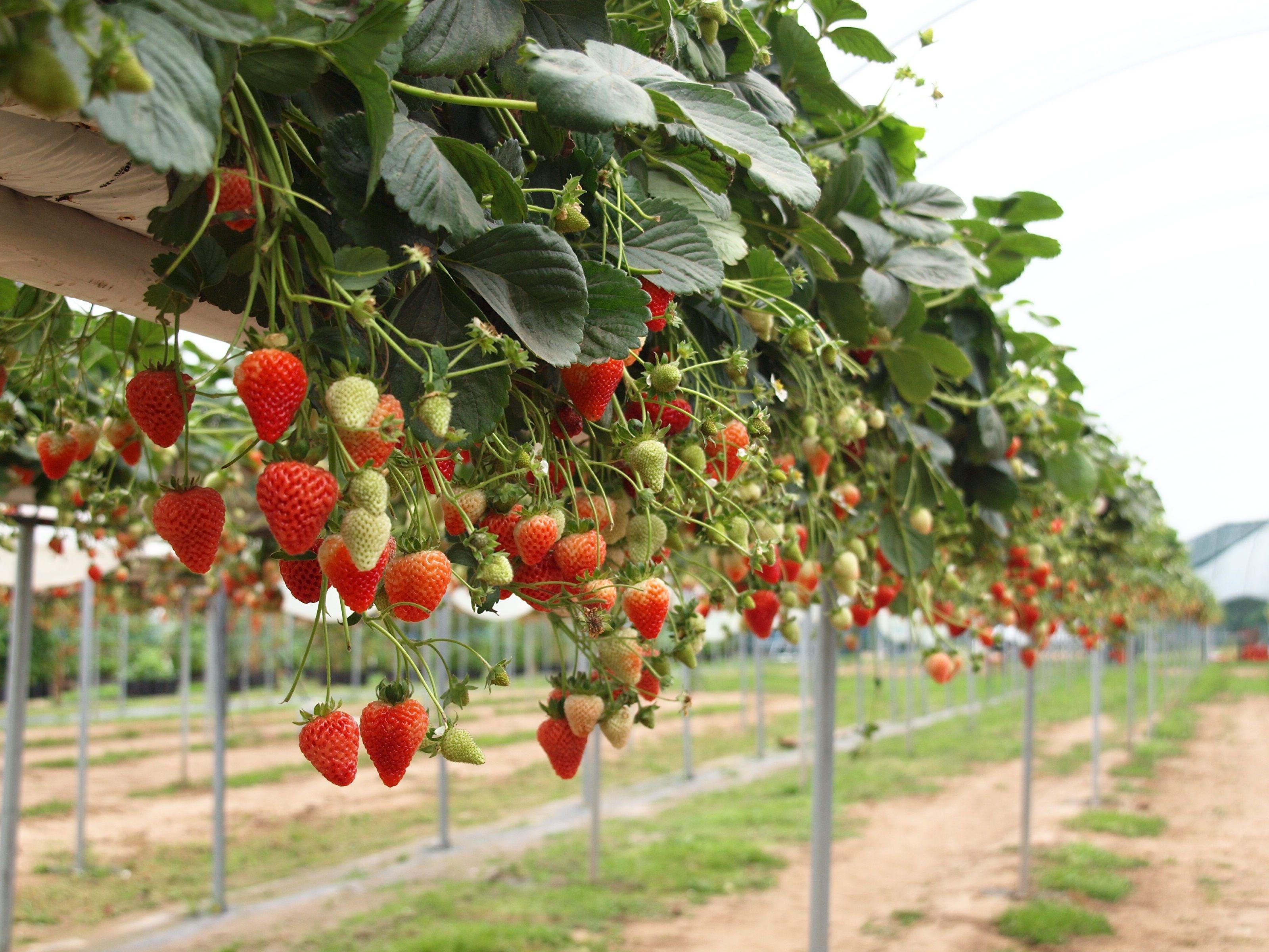 como plantar morangos em casa