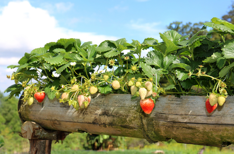 como plantar morangos