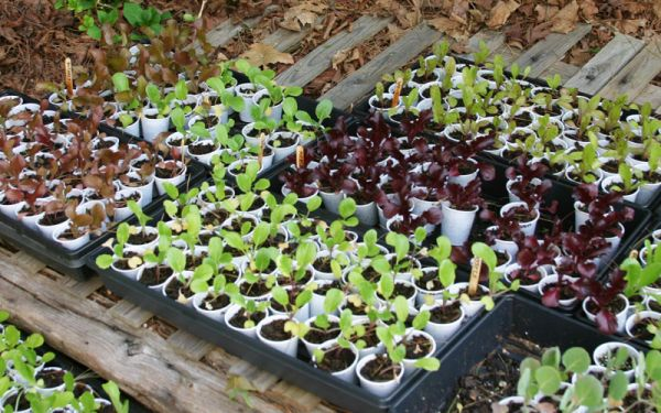 como se planta alface
