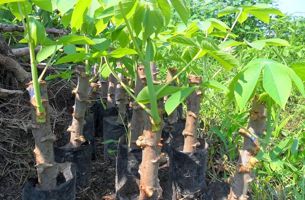 como se planta mandioca