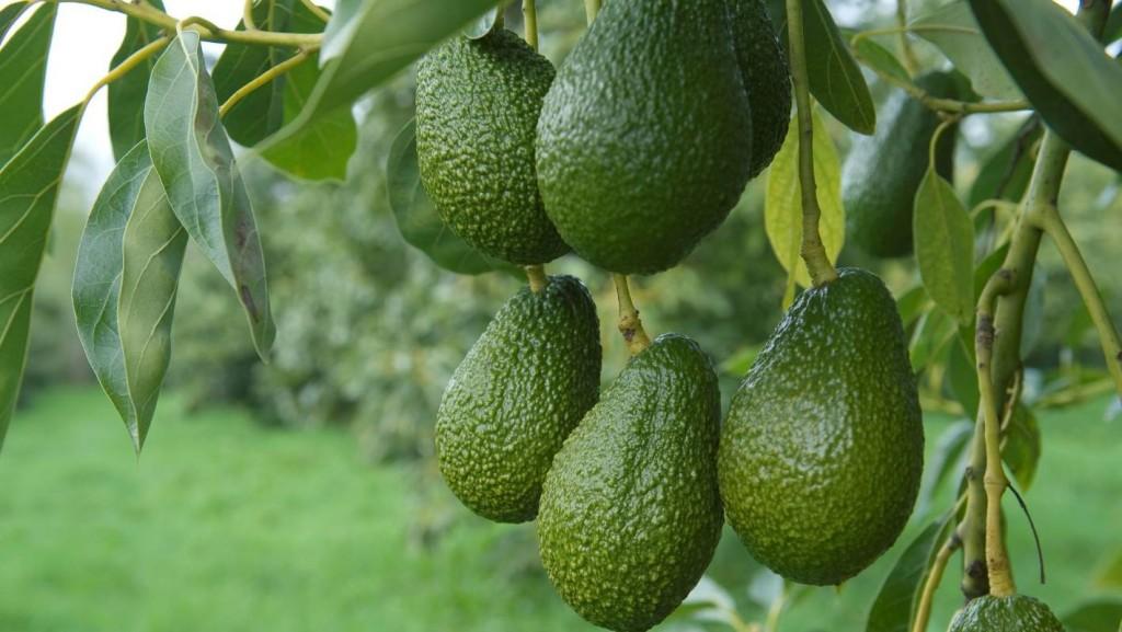 formas de plantar abacate