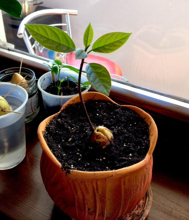 plantando abacate
