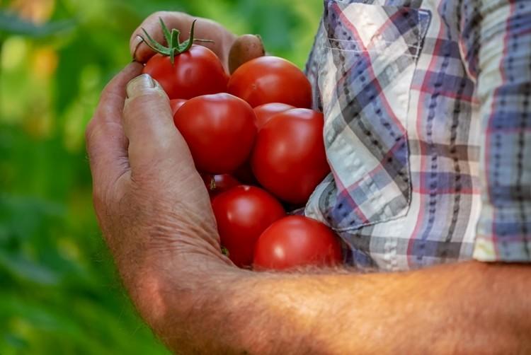 tipos de tomate