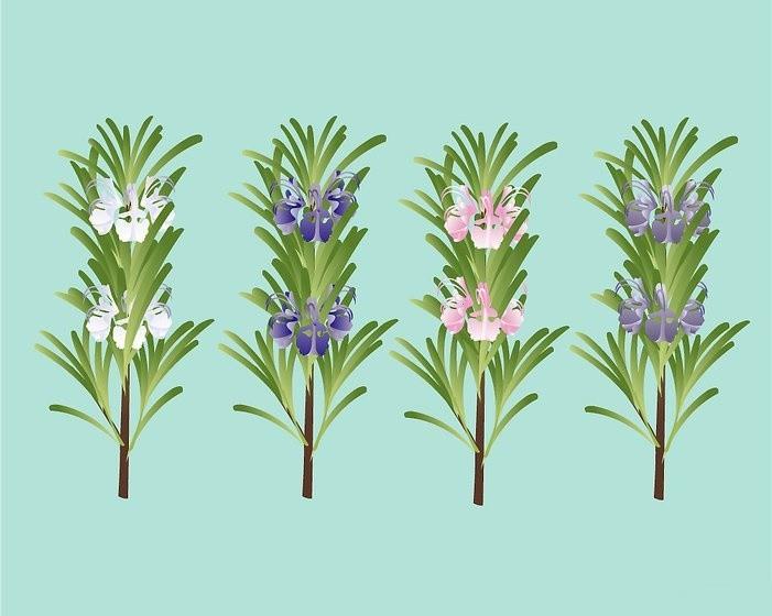 como plantar alecrim em casa