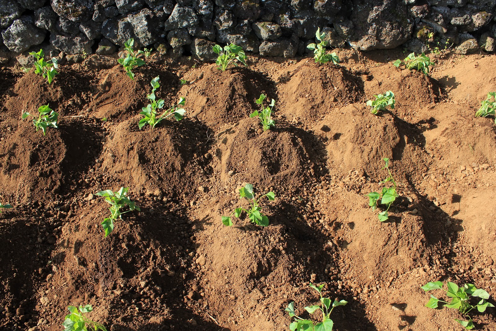 Como Plantar Batata Doce- Mudas
