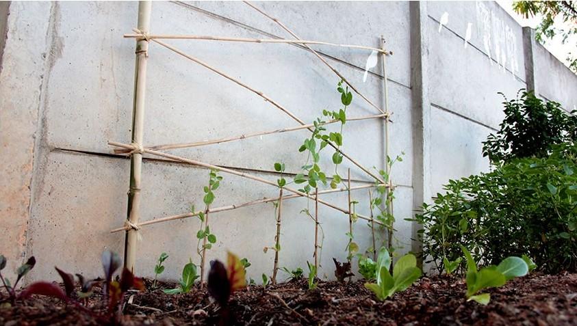 Plantio de ervilha