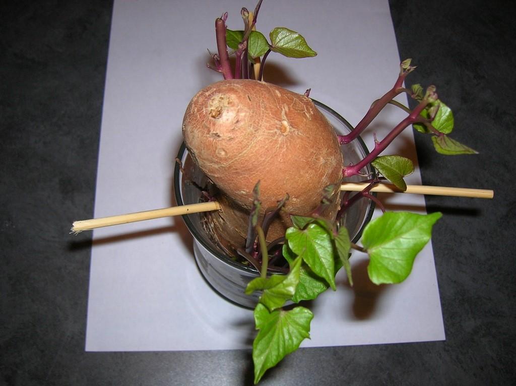 Como Plantar Batata Doce- Germinação