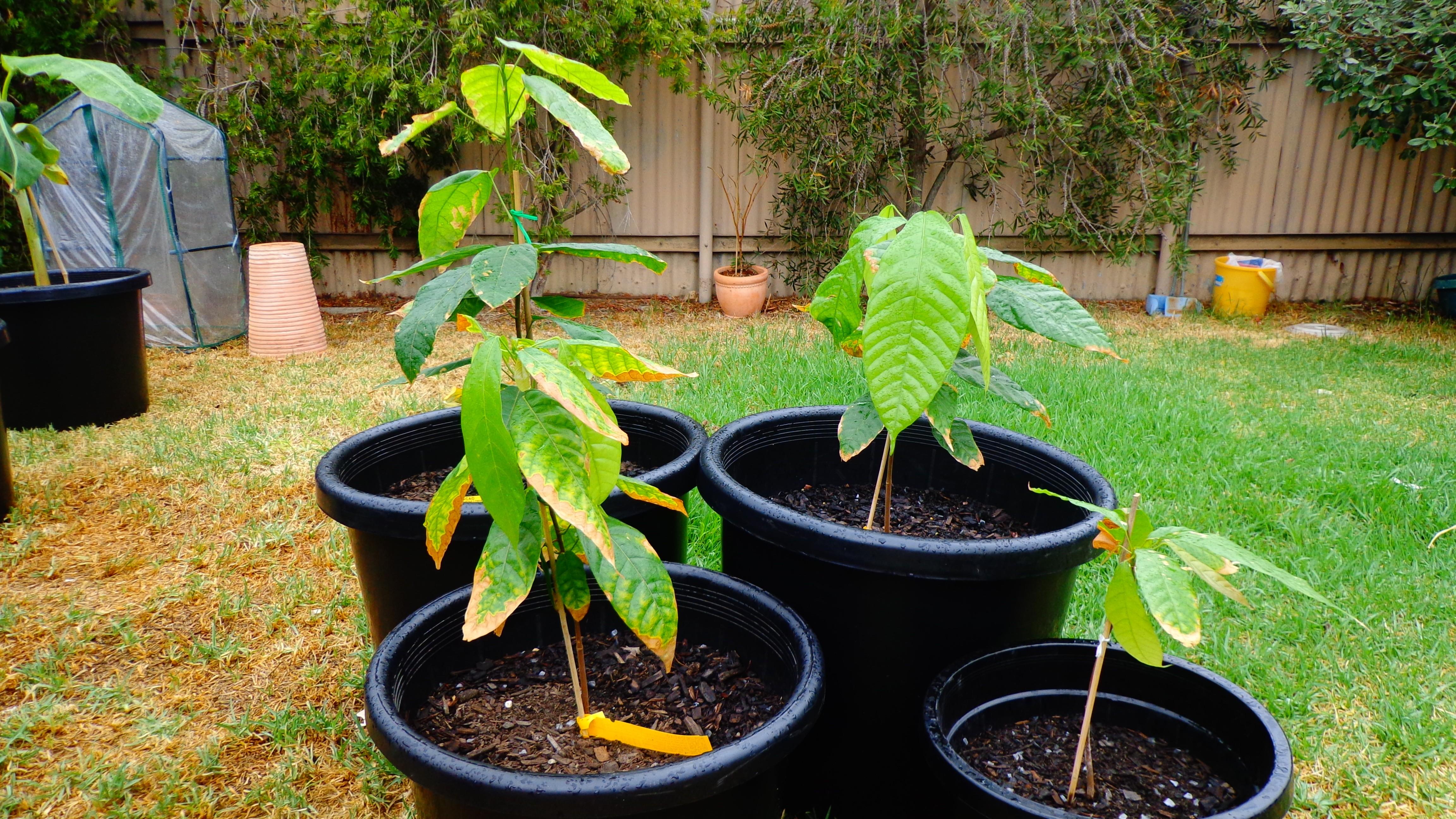 Como Plantar Cacau