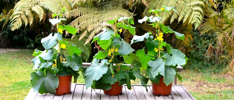 Como Plantar Pepino