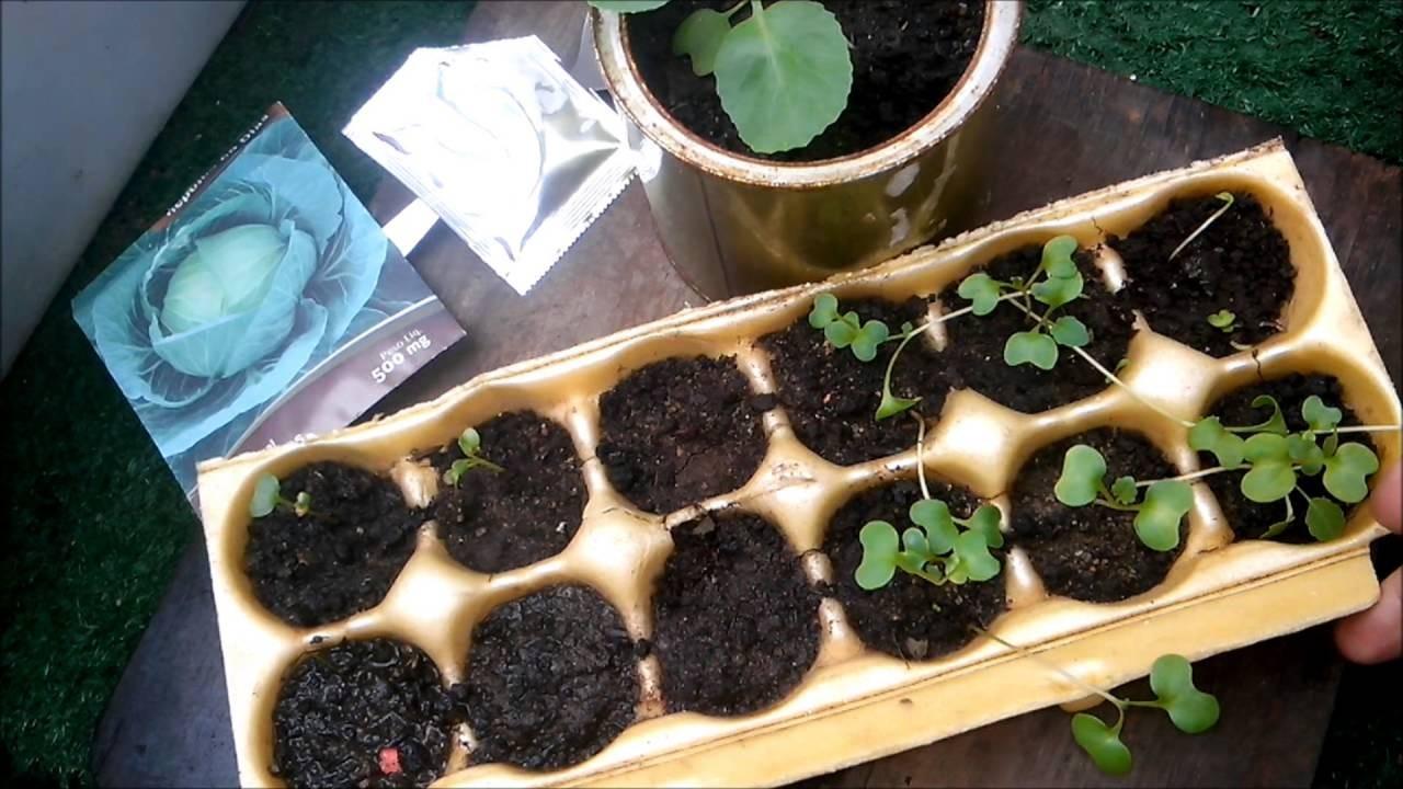 Como Plantar Repolho