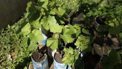 mudas de uva