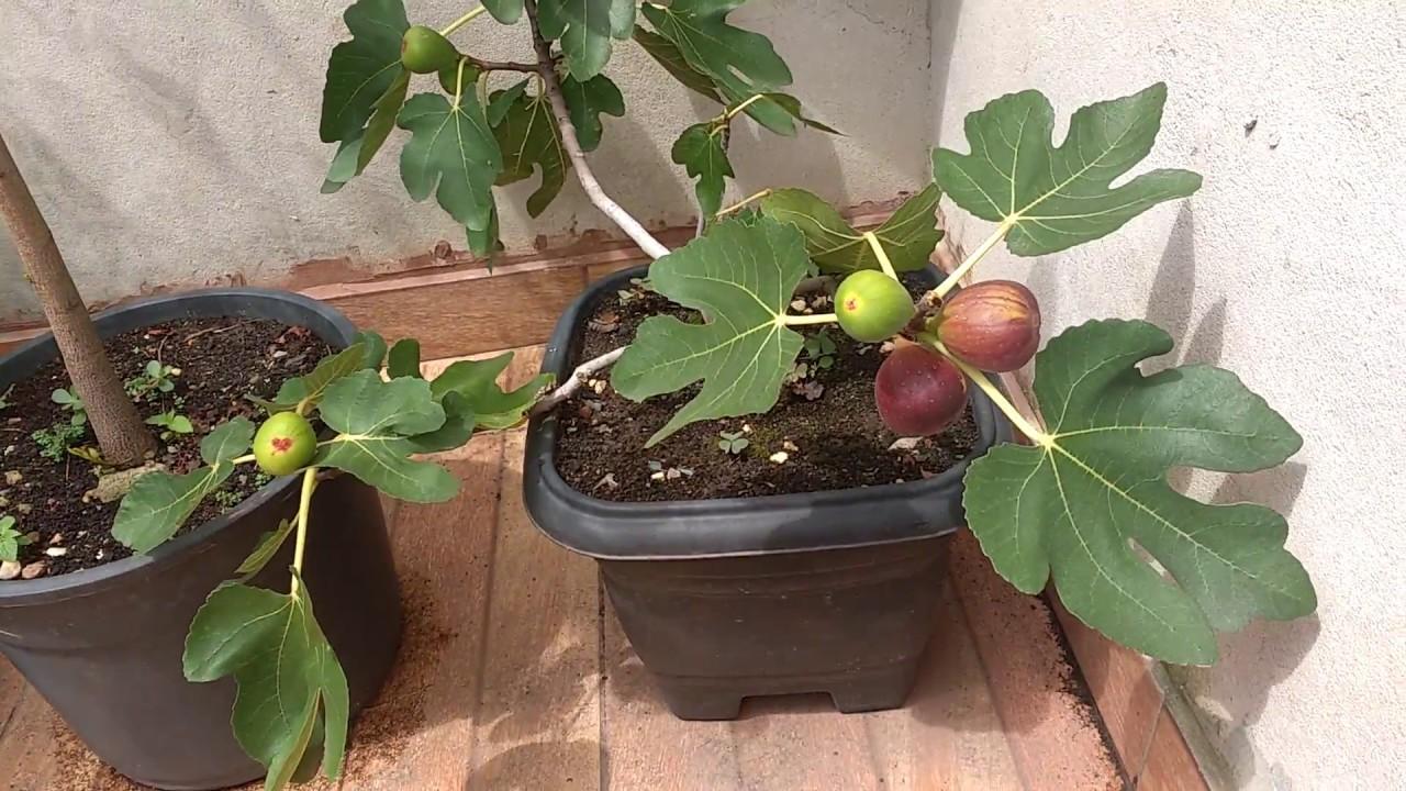 Como Plantar figo em vaso