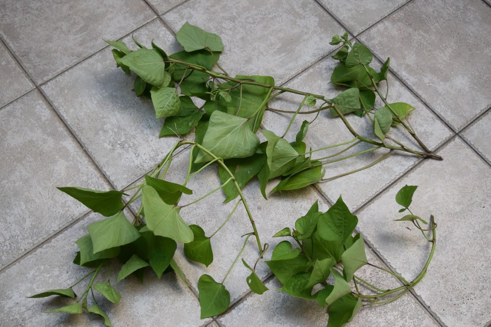 Como Plantar Batata Doce- Ramas