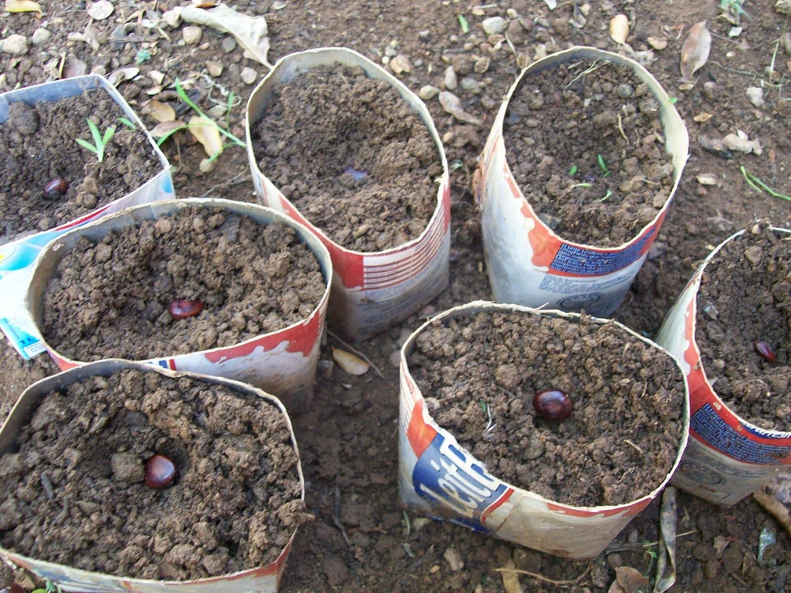 Como Plantar Tamarindo