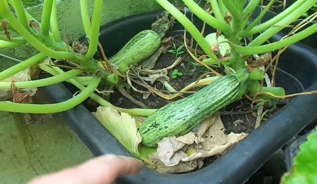 Como Plantar abobrinha em Vasos