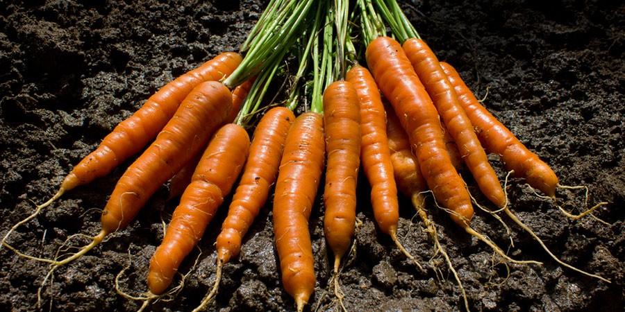 Como Plantar Cenouras em Vasos