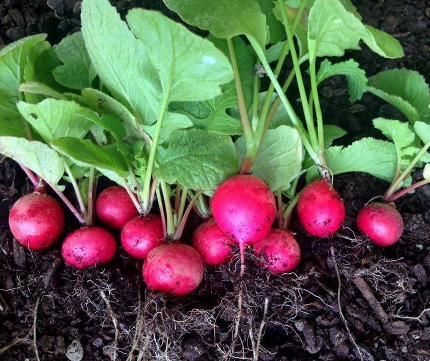 Como Plantar Rabanetes em Vasos