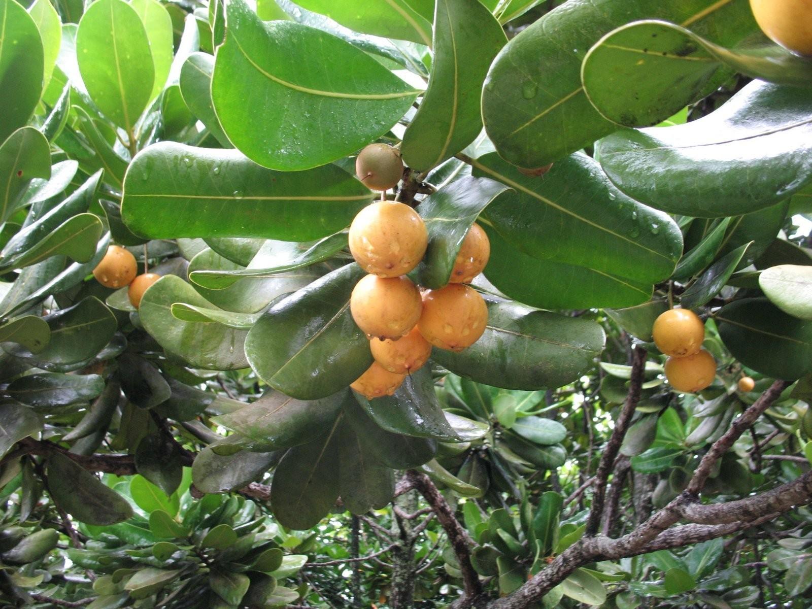 Como Plantar Bacuri - colheita