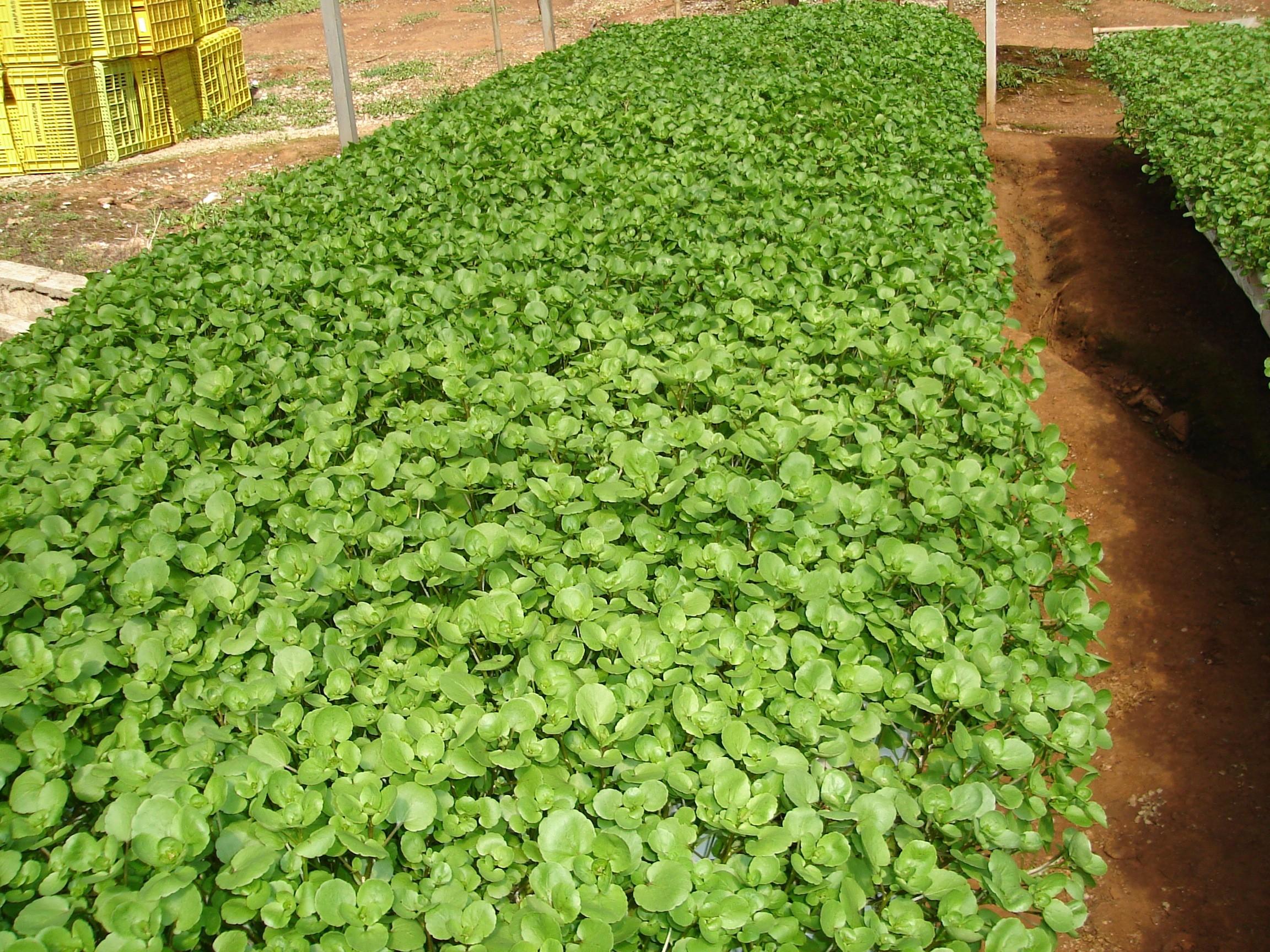 Como Plantar Agrião