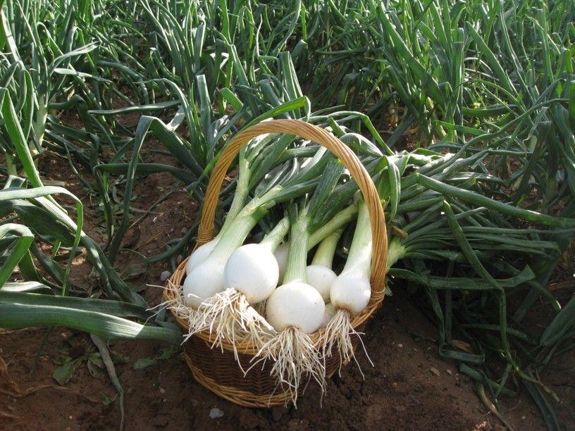 Como Plantar Cebolas Grandes