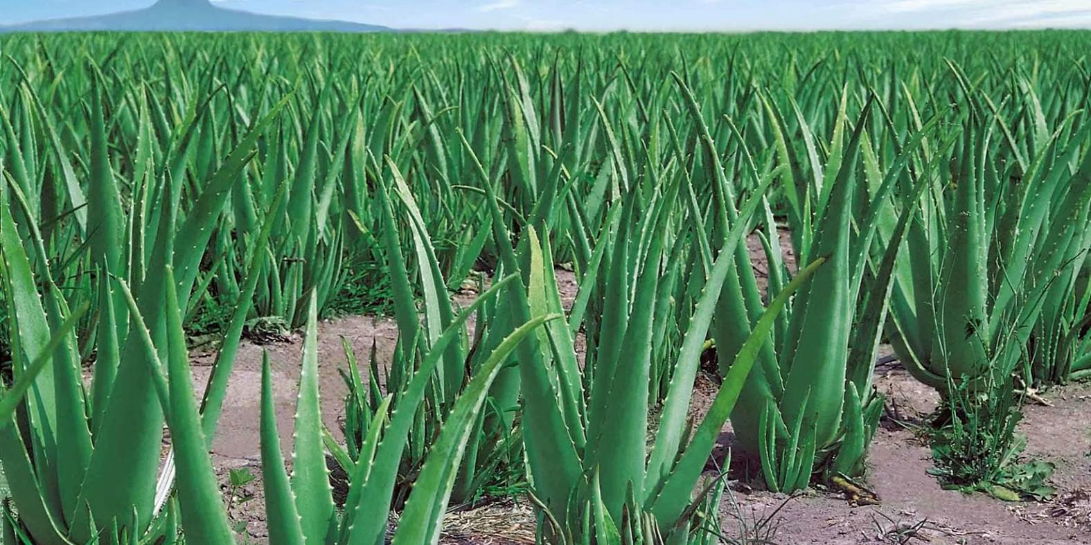 Como Plantar Aloe Vera