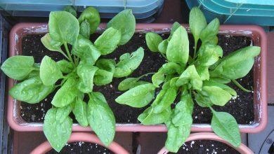 como cultivar espinafre