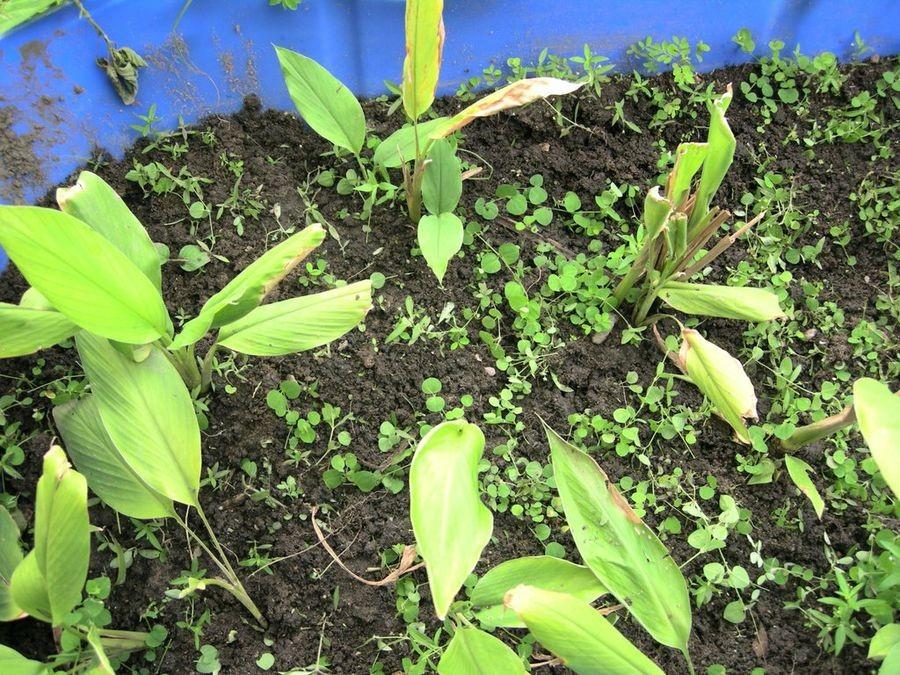 Como Plantar Cúrcuma