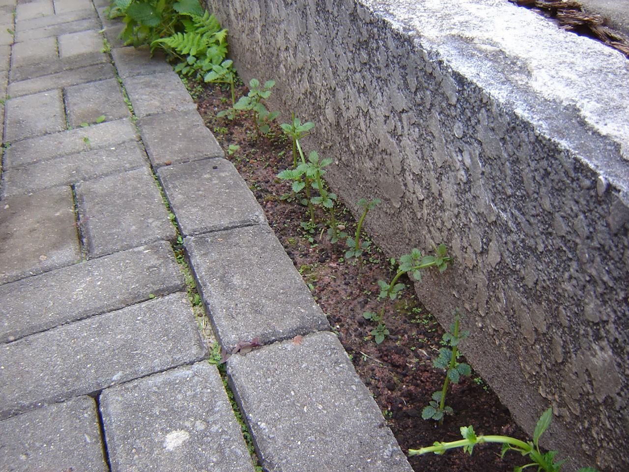 Como Plantar Erva-cidreira