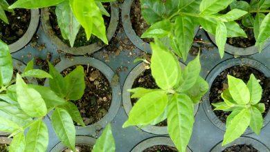 como plantar louro