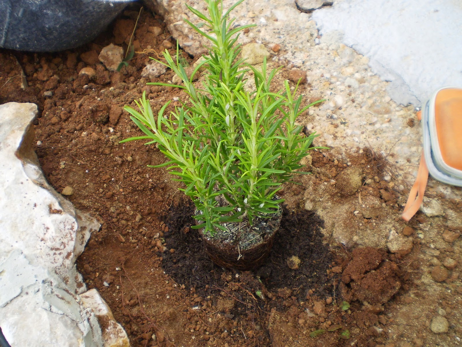 Como Plantar Tomilho