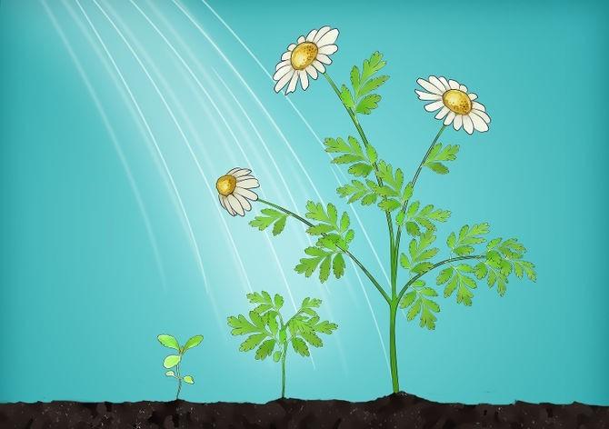 Como Plantar Camomila