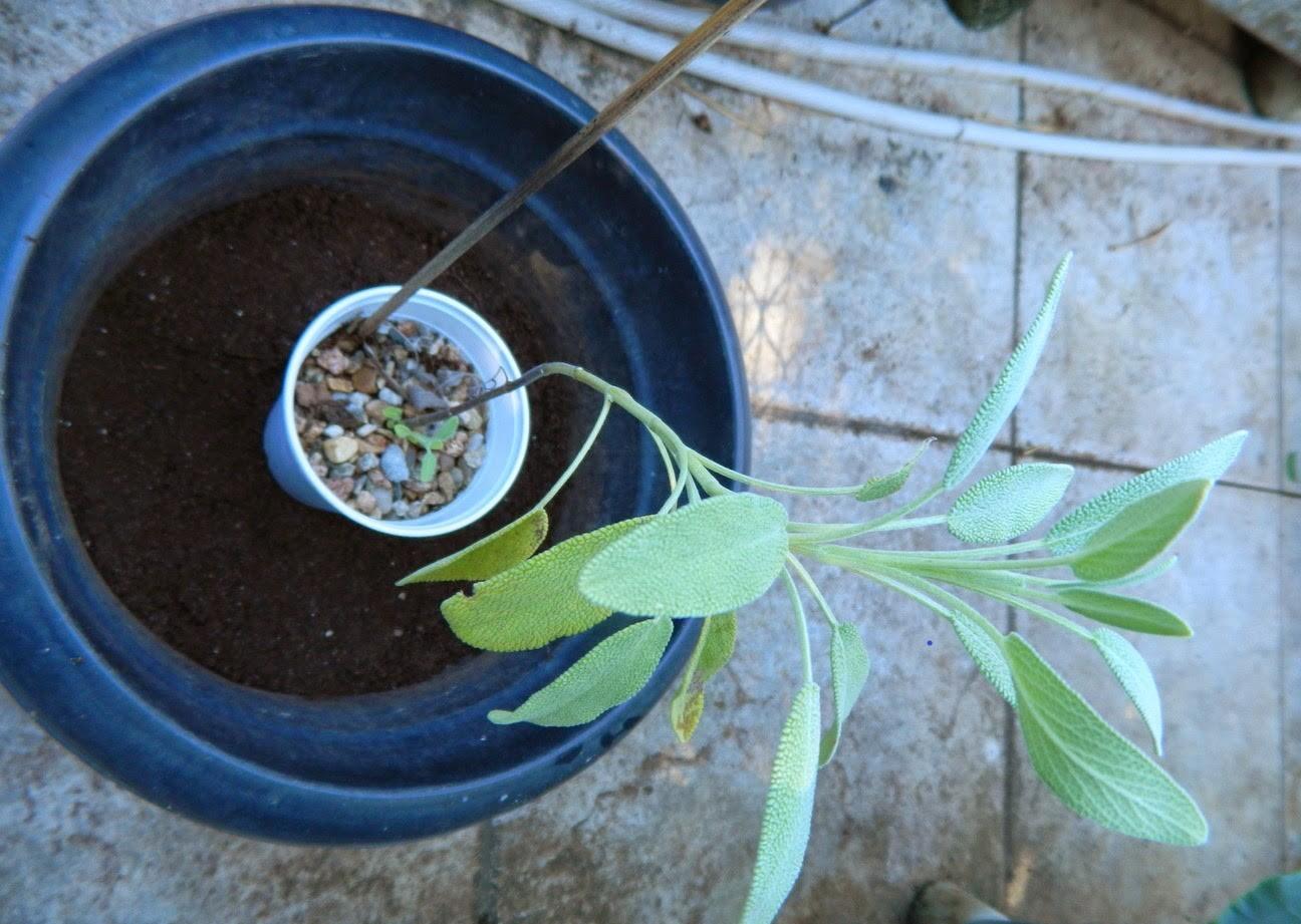 Como Plantar Sálvia