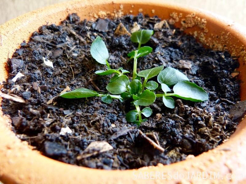 Como Plantar Agrião _ Sementes