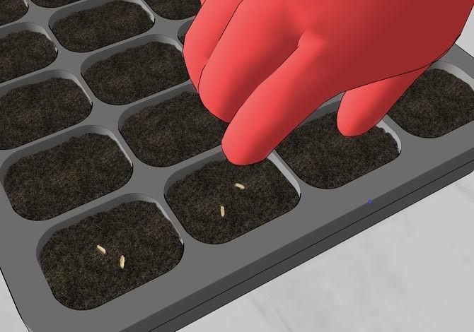 Como Plantar Camomila _ Sementes