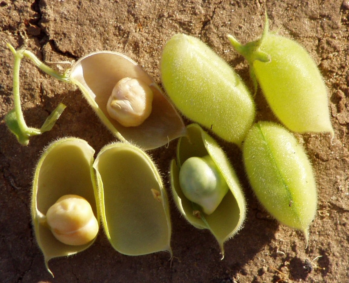 Como Plantar Grão-de-Bico