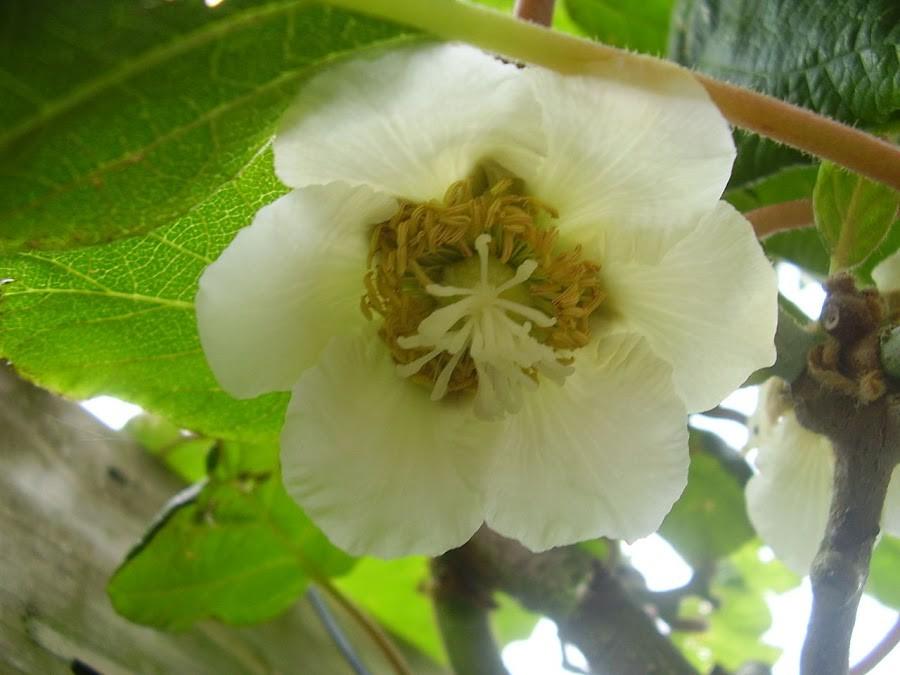 Flor da Planta Fêmea de Kiwi