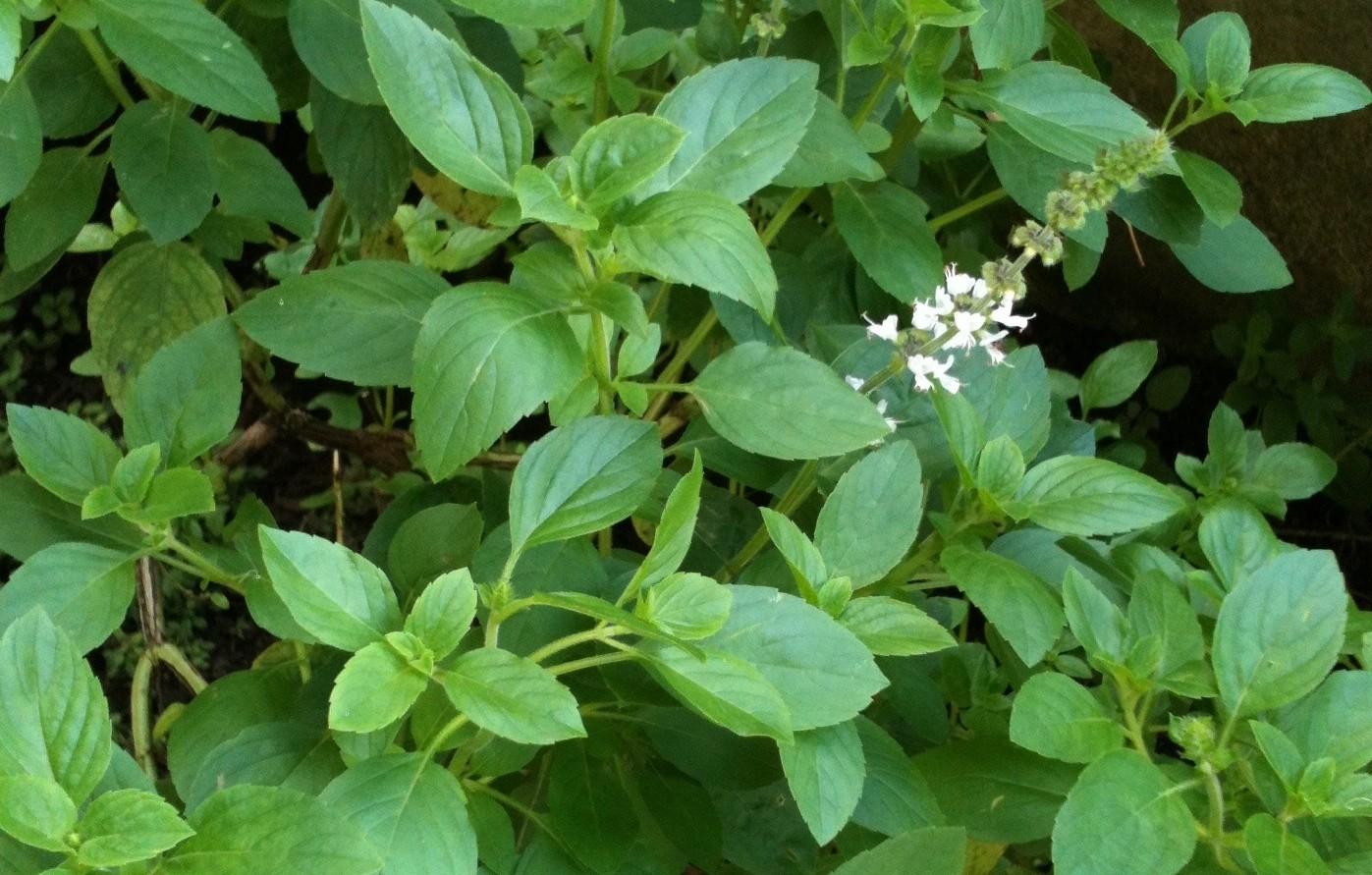erros ao cultivar plantas aromáticas