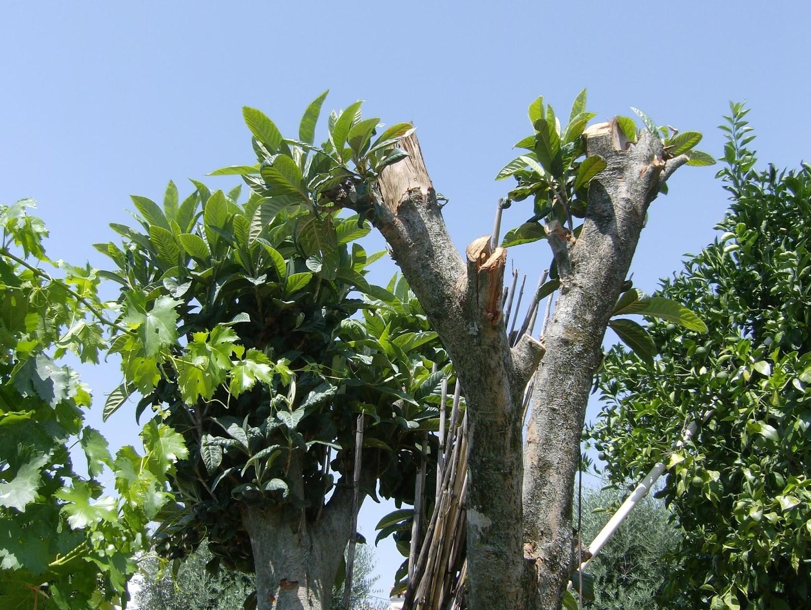 Como Podar Planta De Limao Laranja E Tangerina Horta Em Casa