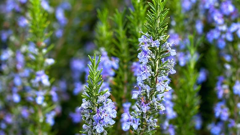 erros comuns ao cultivar plantas aromaticas