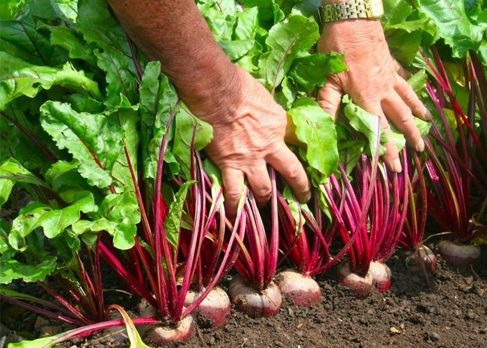 Como Plantar Beterraba