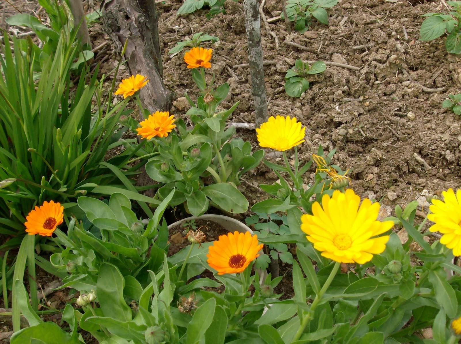 como plantar calendulaem casa