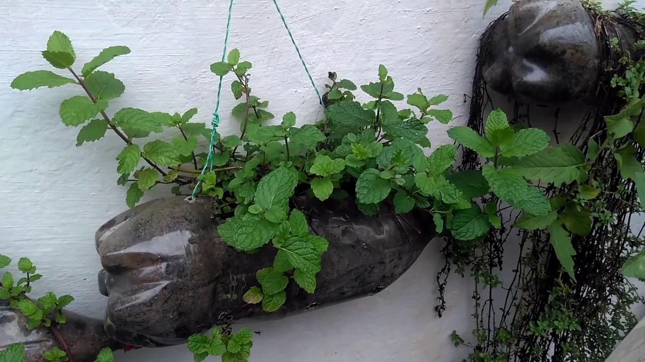 como plantar hortela em casa