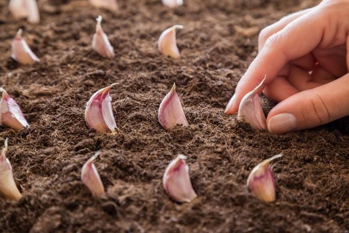 Como Plantar Alho