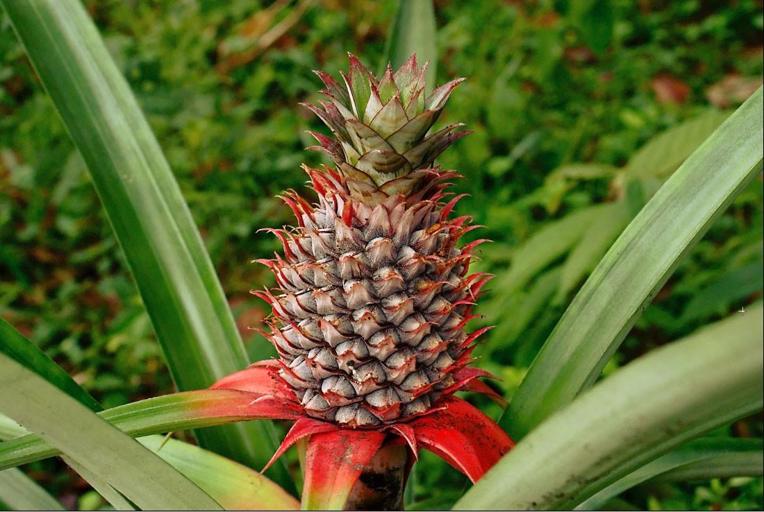 Como Plantar Ananás